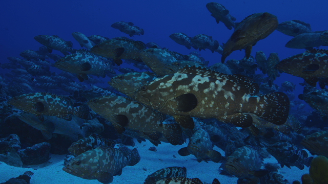 Tahiti Stock Footage: Groupers Footage Collection