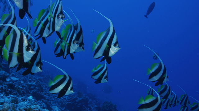 Tahiti Stock Footage: Banner Fished over the Coral Reef Collection