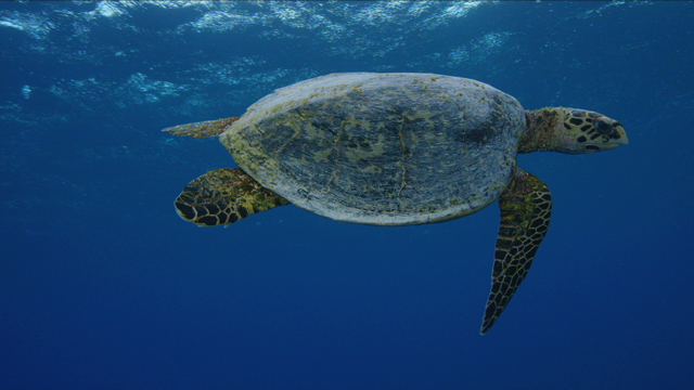Tahiti Stock Footage: Turtles Footage Collection