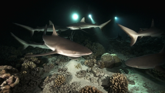Tahiti Stock Footage: Sharks at Night Collection