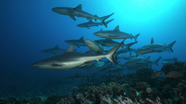 Tahiti Stock Footage: Grey Sharks Collection