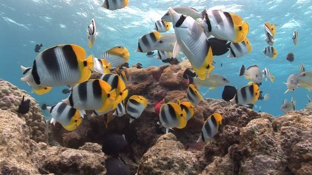 Tahiti Stock Footage: Butterfly Fishes Clip